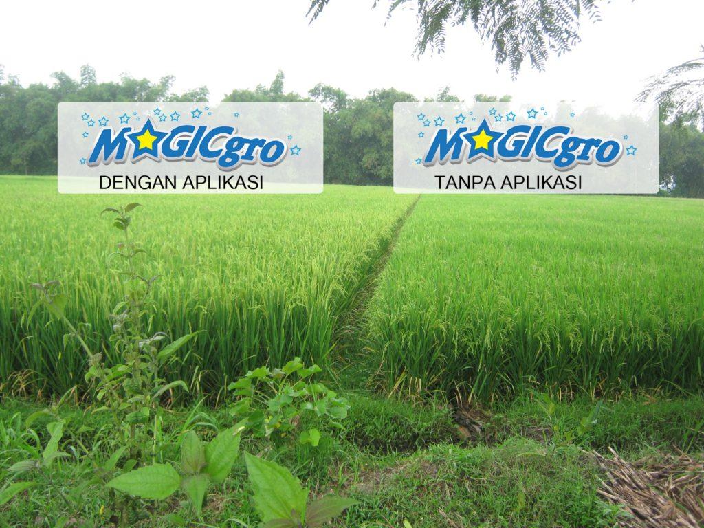 Dengan Aplikasi MAGICgro (KIRI), Tanpa Aplikasi MAGICgro (KANAN)
